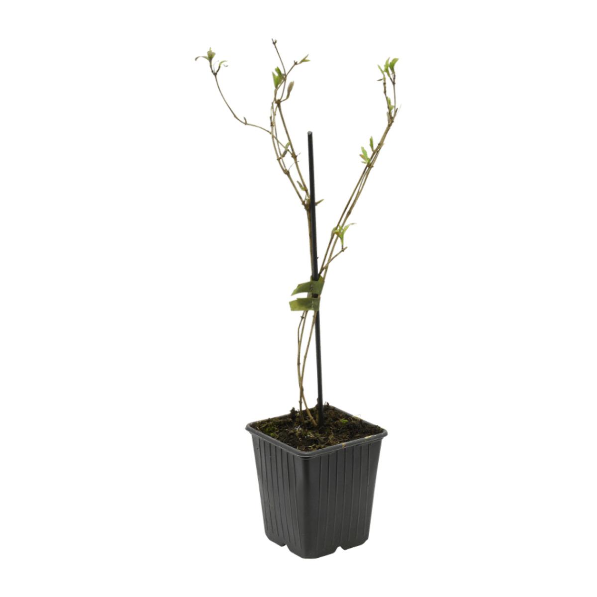 Bild 5 von GARDENLINE     Rankpflanze