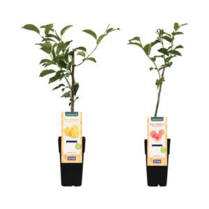 GARDENLINE     Mini-Obstbaum