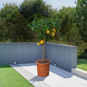 Zitronen-Stamm, 120–140 cm