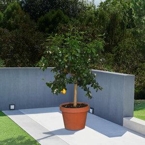 Zitronen-Stamm, 190–210 cm