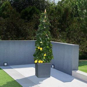 Zitronen-Pyramide, 180–200 cm