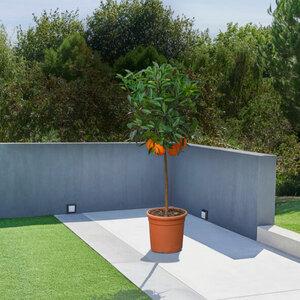 Orangen-Stamm, 120–140 cm