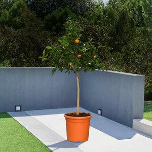 Orangen-Stamm, 140–160 cm