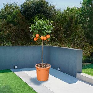 Mandarinen-Stamm, 120–140 cm
