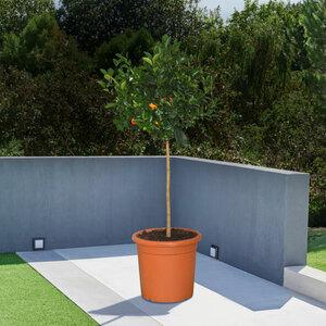 Mandarinen-Stamm, 140–160 cm