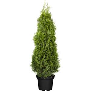 Lebensbaum 80-100 cm, 27 cm Topf