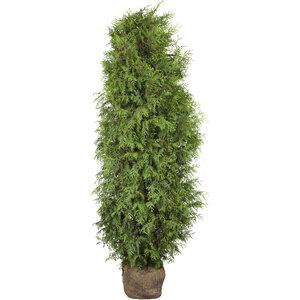 "Lebensbaum ""Brabant"" 140-160 cm, Ballenware"