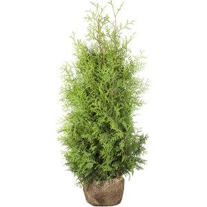 "Lebensbaum ""Brabant"" 120-140 cm, Ballenware"