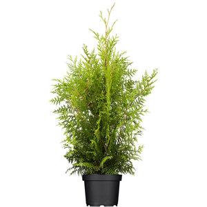 "Lebensbaum ""Brabant"" 80-100 cm, 4 L Topf"