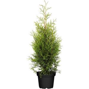 "Lebensbaum ""Brabant"" 60-60 cm, Ballenware"