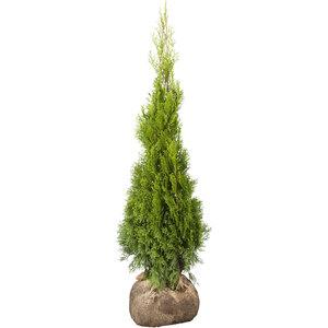 "Lebensbaum ""Smaragd"" 50-60 cm, Ballenware"