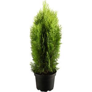 "Lebensbaum ""Aurea Nana"" 25-30 cm, 23 cm Topf"