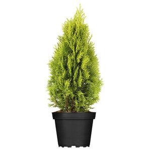 "Lebensbaum ""Golden Smaragd"" 15-20 cm, 17 cm Topf"
