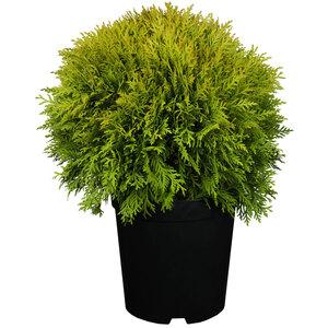 """Lebensbaum """"Miriam"""" 15-20 cm, 17 cm Topf"""