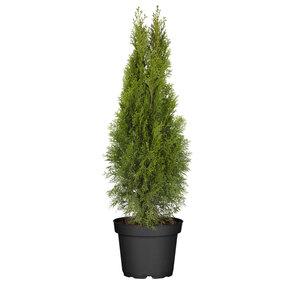 """Lebensbaum """"Smaragd"""" 15-20 cm, 17 cm Topf"""