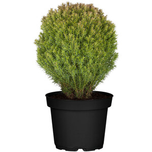 "Lebensbaum ""Teddy"" 15-20 cm, 17 cm Topf"