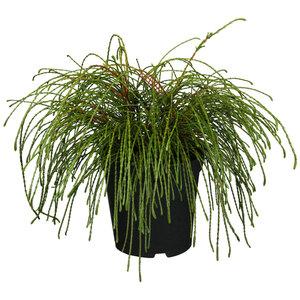 "Lebensbaum ""Whipcord"" 15-20 cm, 17 cm Topf"
