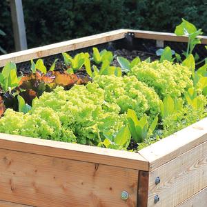 Hochbeet-Salat-/ Gemüsepflanzen Mix