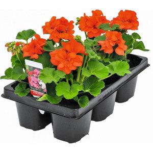 "Geranie ""Pelargonium zonale⁄peltatum"", 6er Pack, versch. Farben"
