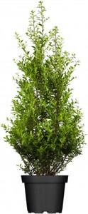 Hecken-Ilex Stechpalme ,  5 Liter Topf, 60 cm hoch