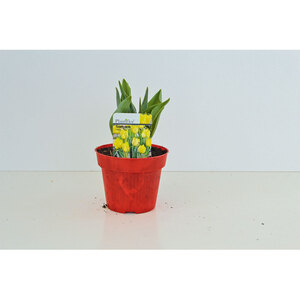 Tulpen-Zweibeln