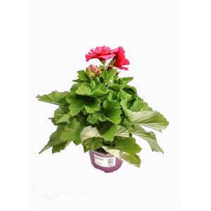 Plantiflor              Edelgeranie Lila, T12