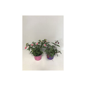 Fuchsia hypriden stehend, T12