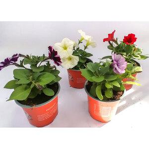 Petunien großblumig, verschiedene Farben, T10,5