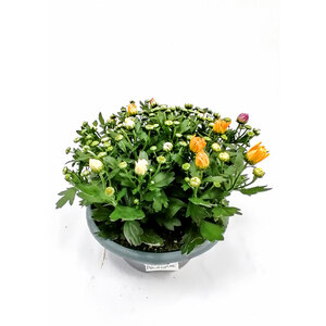 Plantiflor              Crysantheme mehrfarbig, 23 cm Schale