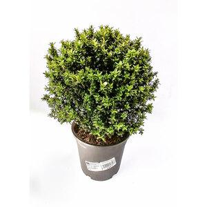 Plantiflor              Myrte 40 cm, T17