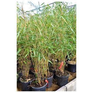 """Bambus """"Scabrida"""", 2 L Topf"""