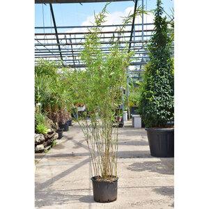 "Bambus ""Fargesia Black Pearl"", 7,5 L Topf"