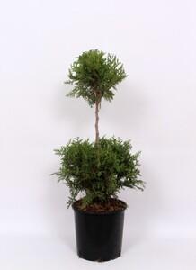 Lebensbaum Thuja Brabant 2 KUGEL 22 cm Topf, 60-70 cm hoch