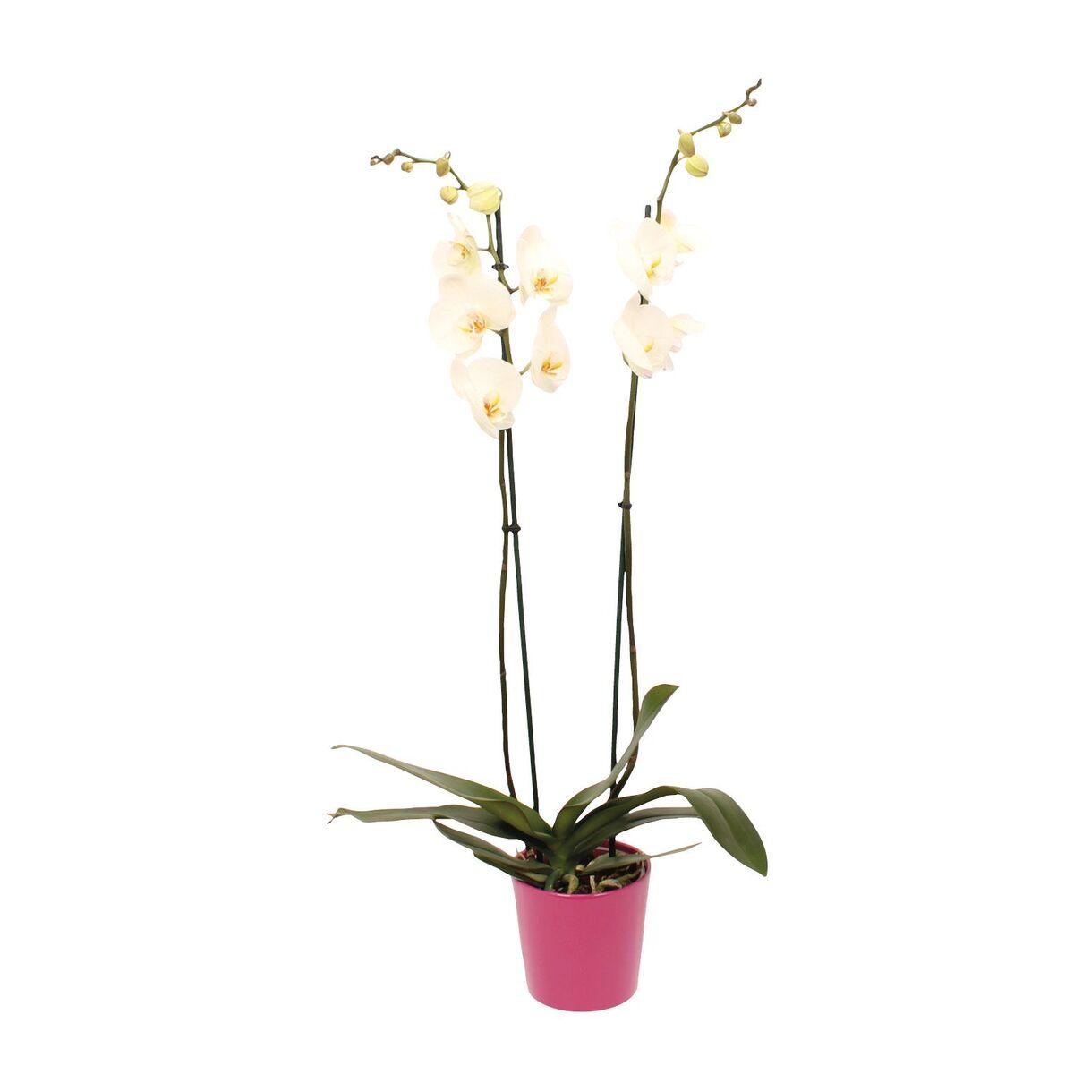Bild 2 von GARDENLINE®  Orchidee im Keramiktopf