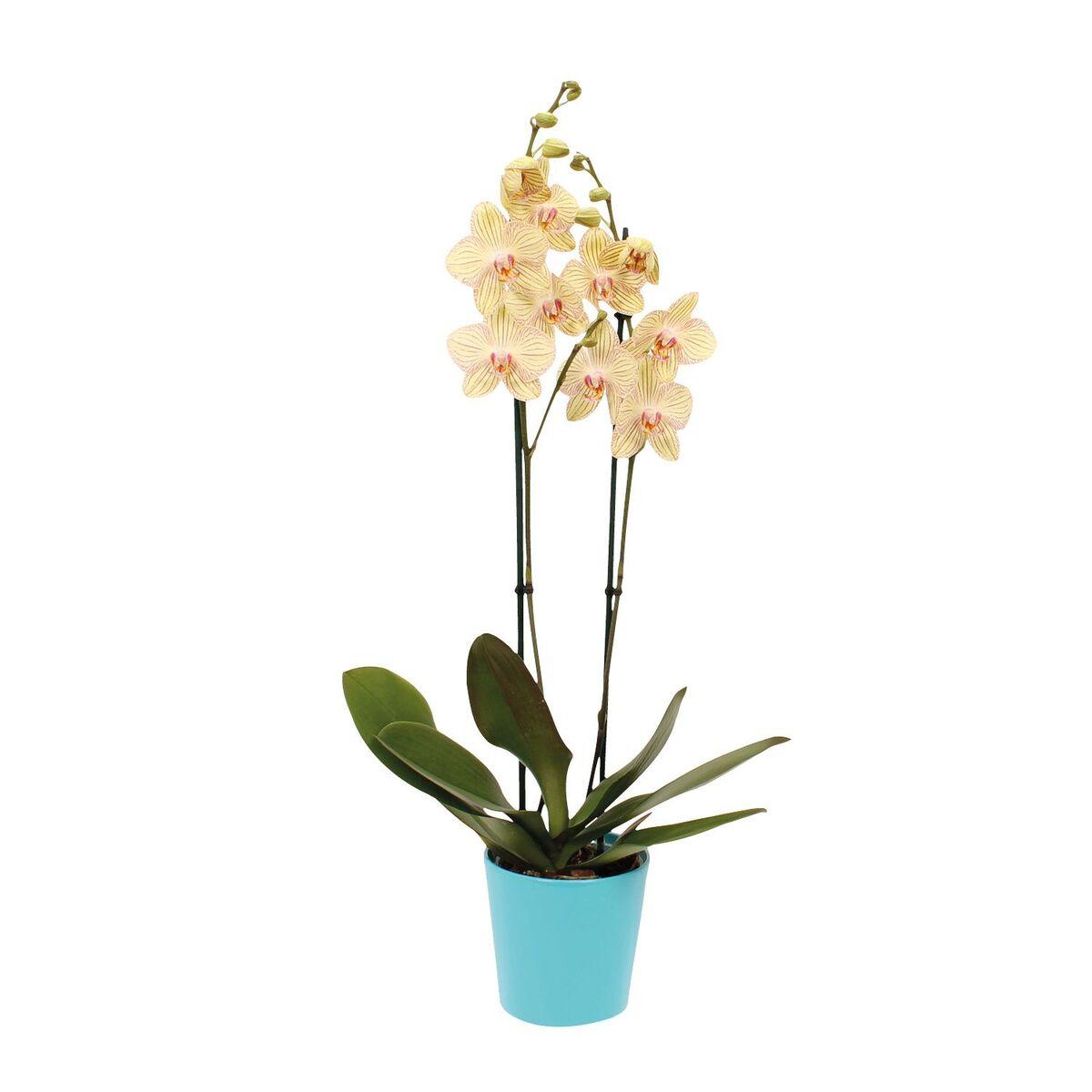 Bild 3 von GARDENLINE®  Orchidee im Keramiktopf
