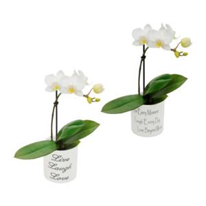 GARDENLINE     Mini - Phalaenopsis