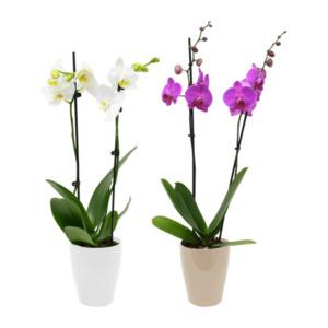 GARDENLINE     Phalaenopsis