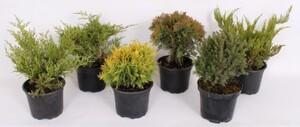 Juniperus mix ,  Juniperus, 2 l Container