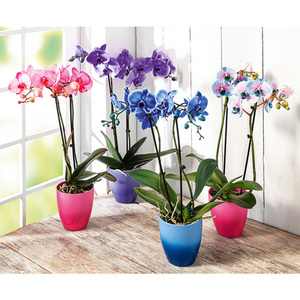 "Phalaenopsis ""Royal Mix"""