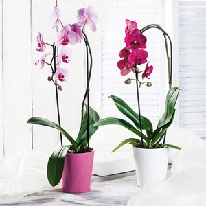 "Phalaenopsis ""Cascade"""