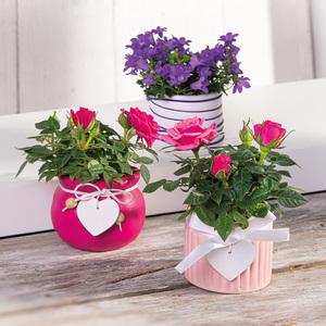 Mini-Campanula oder Mini-Rosen