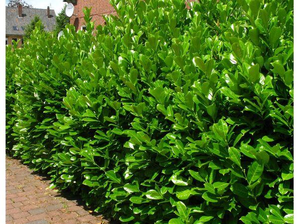 Kirschlorbeerhecke Novita®, 5 Pflanzen für 2-3 Meter Hecke
