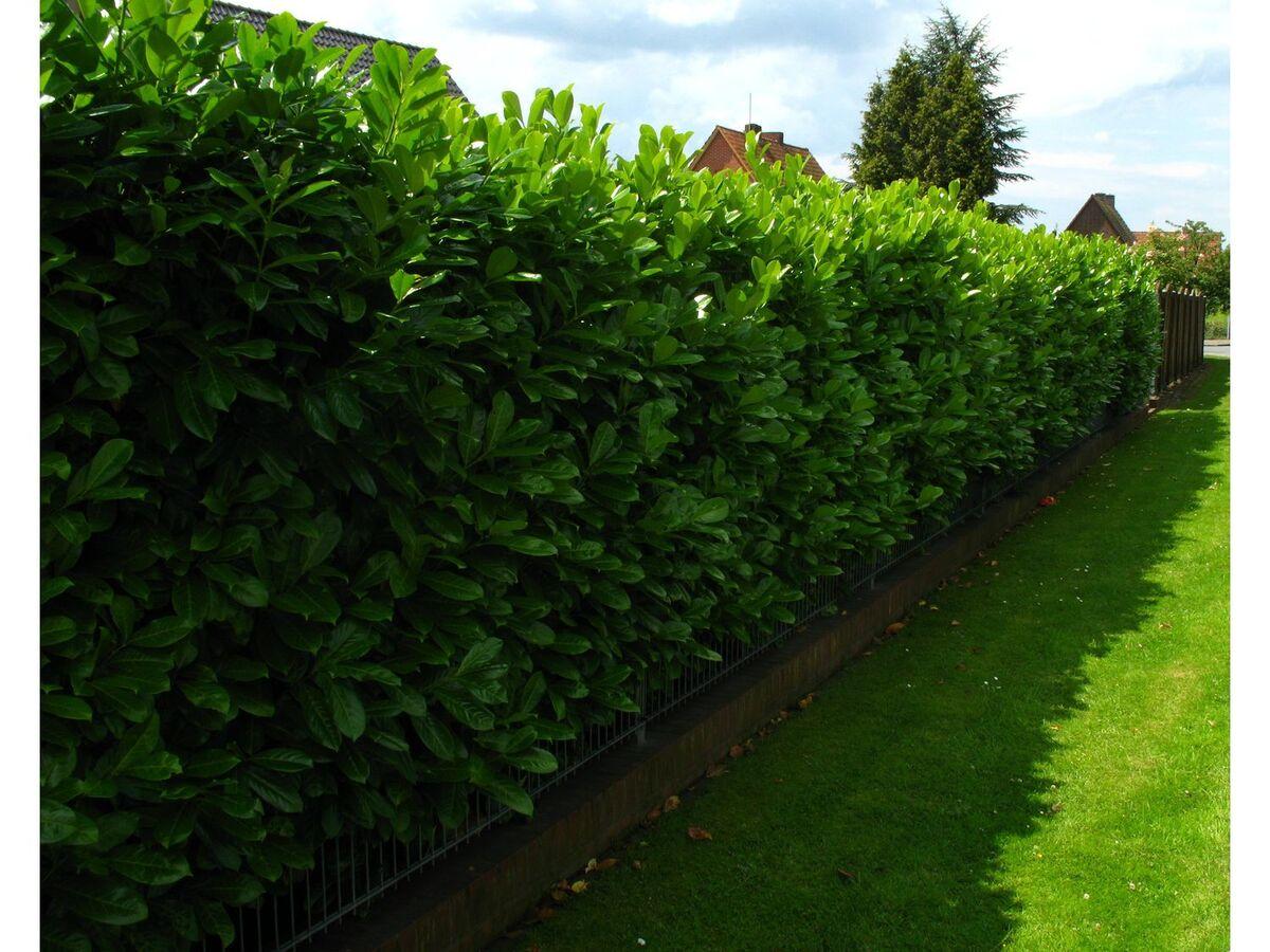 Bild 2 von Kirschlorbeerhecke Novita®, 5 Pflanzen für 2-3 Meter Hecke
