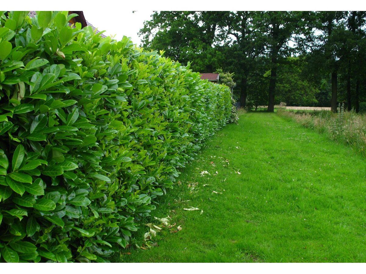 Bild 3 von Kirschlorbeerhecke Novita®, 5 Pflanzen für 2-3 Meter Hecke
