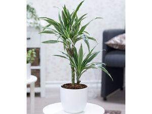 Dracena Warneckei ca. 60 cm hoch,1 Pflanze
