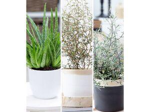 Zimmerpflanzen-Mix Pflegeleicht,3 Pflanzen