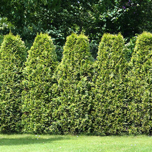Lebensbaum-Hecke Easy Care 101