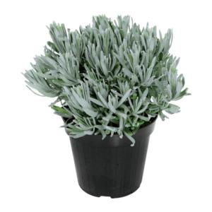 GARDENLINE     Lavandula angustifolia