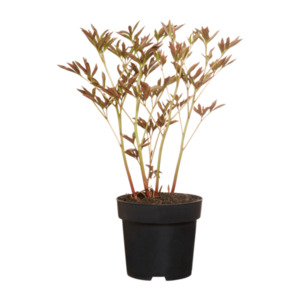 GARDENLINE     Pfingstrose (Paeonia lactiflora)