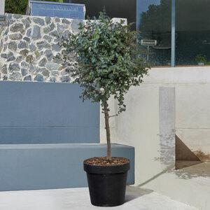 Eukalyptus-Stamm, 160–180 cm